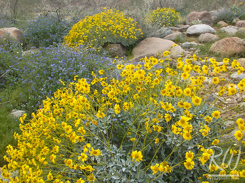 2005 Spring Wildflowers at Anza Borrego Desert State Park, California