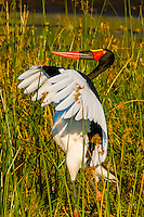 Saddle-billed stork flapping it's wings, near Kwara Camp, Okavango Delta, Botswana.
