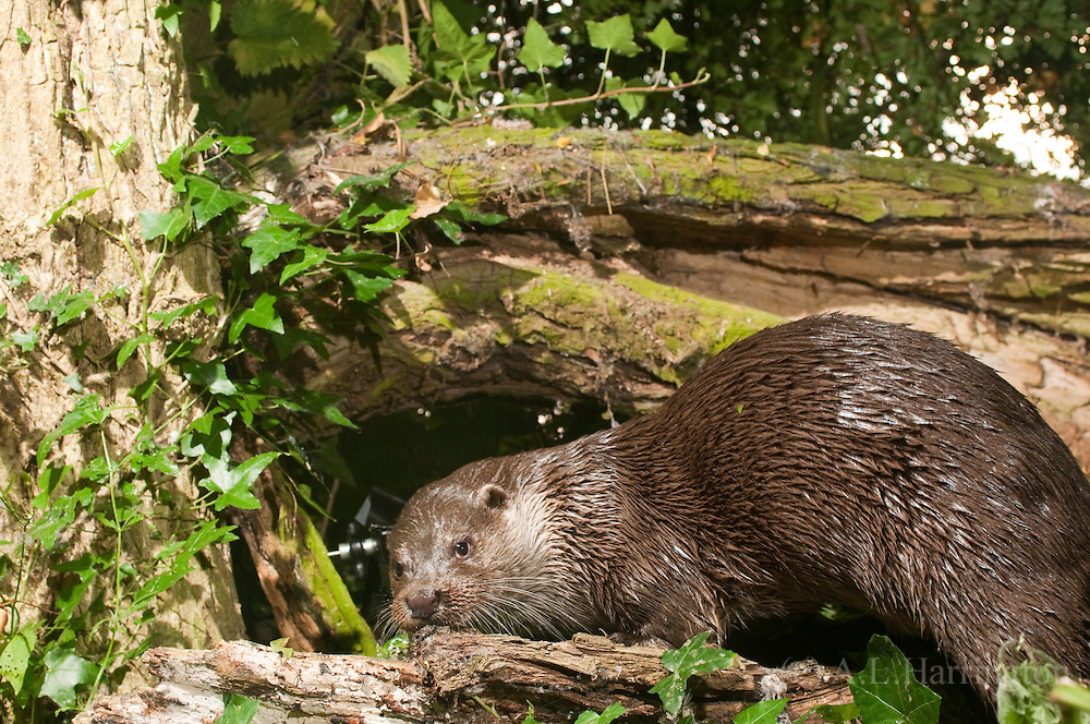 European otter, River Cherwell, Oxfordshire UK Oxford Mammal Group.