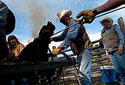 PRICE CHAMBERS / NEWS&amp;GUIDE<br /> Smoke rises as long-time Walton Ranch hand Tom Breen marks one of his own calves Sunday as a team of cowboys brand, castrate and vacinate young bovines in the western tradition of working cattle ranches.