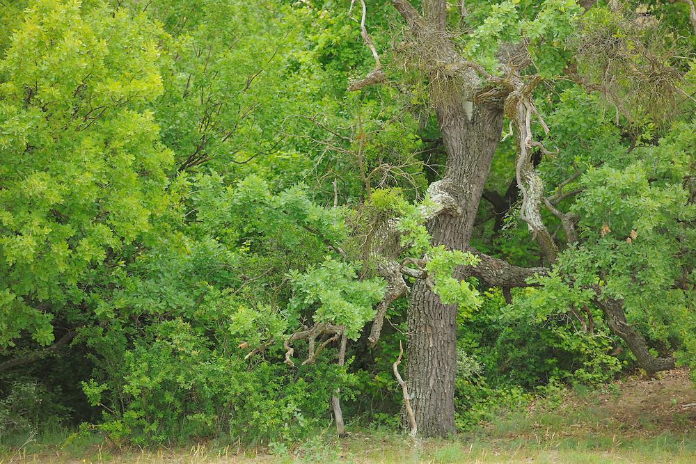 Oaks, Quercus robur, Letea forest, Strictly protected nature reserve, Danube delta rewilding area, Romania