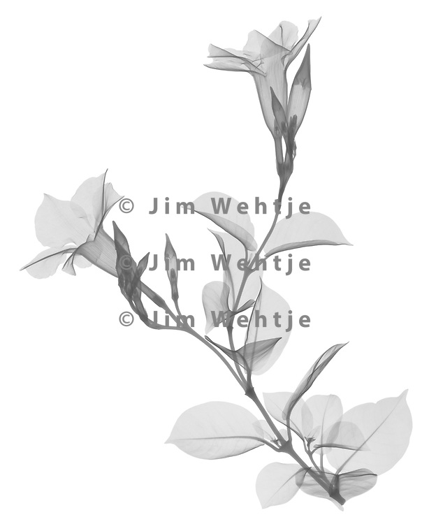 X-ray image of a mandevilla stalk (Mandevilla sanderi, black on white) by Jim Wehtje, specialist in x-ray art and design images.