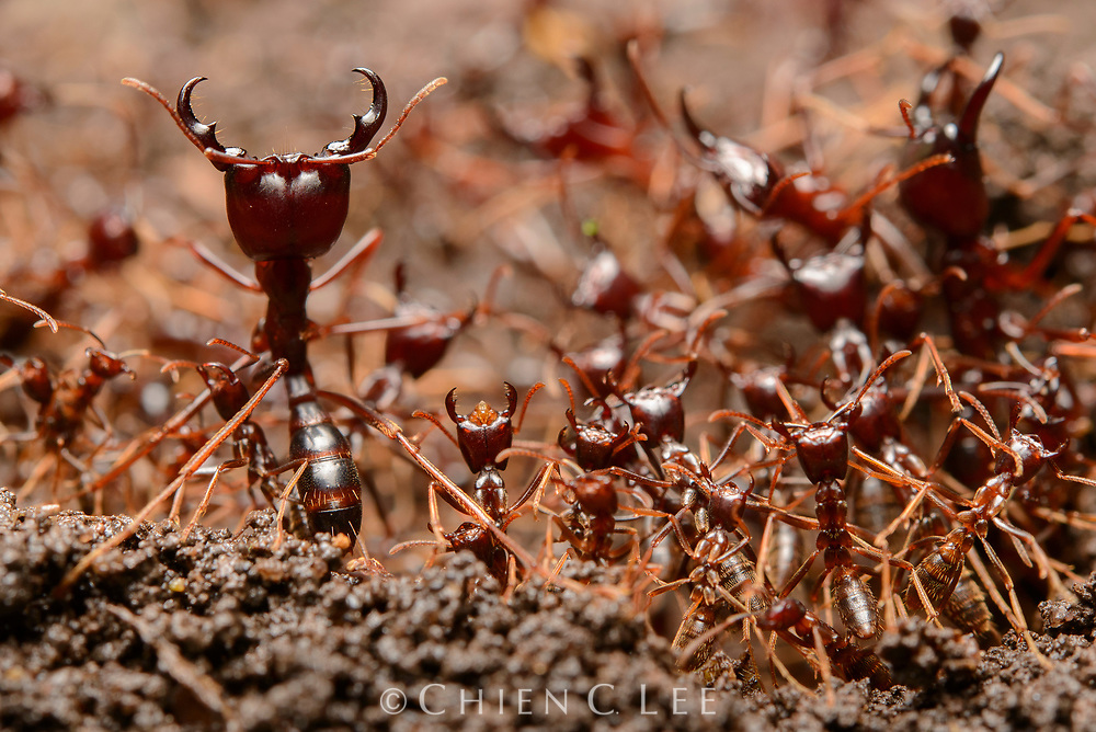 Large soliders with open mandibles defend an advancing column of Driver Ants (Dorylus sp.) in the central African rainforest. Kabarole, Uganda.
