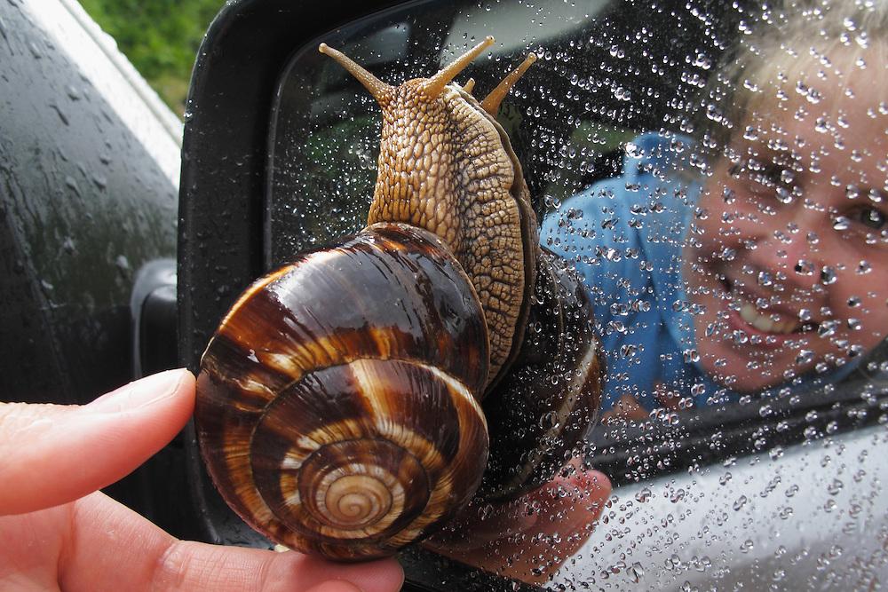 Turkish snail, or Balkan edible snail, Helix lucorum (Gastropoda, Pulmonata, Helicidae), <br /> Stenje region, Lake Macro Prespa (850m) <br /> Galicica National Park, Macedonia, June 2009<br /> Mission: Macedonia, Lake Macro Prespa /  Lake Ohrid, Transnational Park<br /> David Maitland / Wild Wonders of Europe <br /> <br /> Model Release: DMA001
