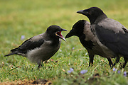 Three Hooded Crows (Corvus corone cornix) on the lawn Photographed in Israel in May