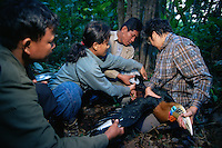 Hornbill research team led by Dr. Pilai Poonswad measure a captured Rufous-necked Hornbill (Aceros nipalensis).  Huai Kha Khaeng Wildlife Refuge, Thailand