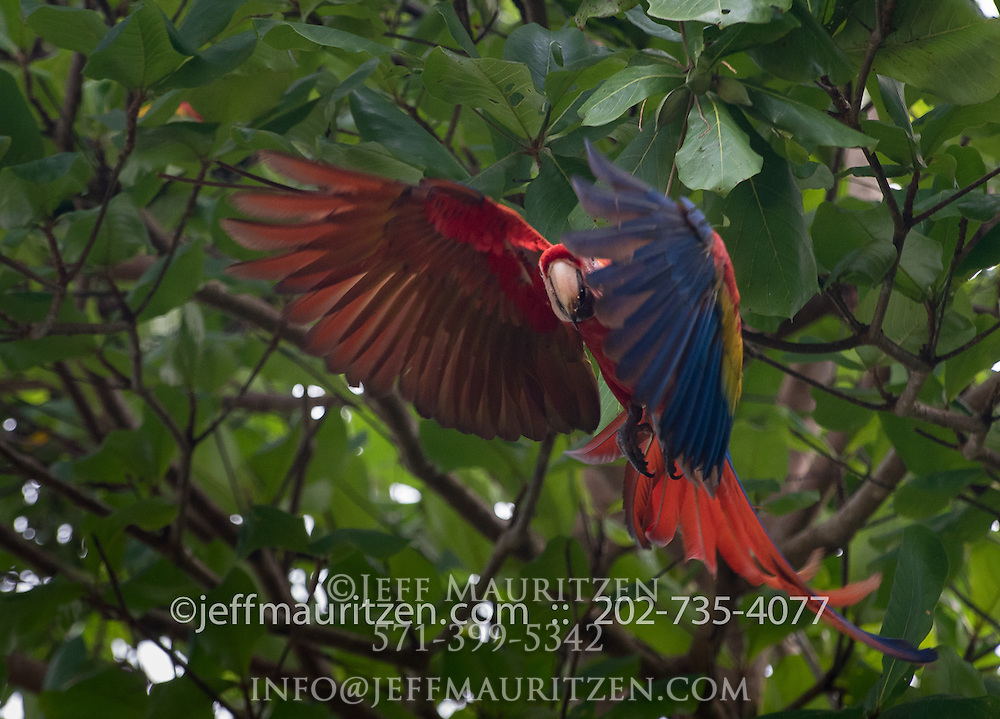 Scarlet macaws in flight over Corcovado National Park, Costa Rica.