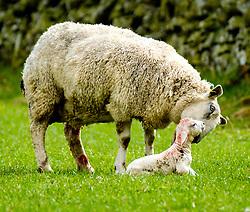 Mum licks her new born lamb.  This lamb is only seconds old.  Scottish borders,<br /> <br /> (c) Andrew Wilson | Edinburgh Elite media