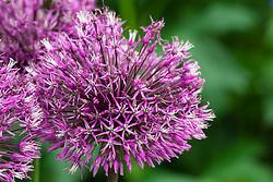 Allium jesdianum 'Early Emperor'