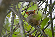 Philippine tarsier, Tarsius syrichta, Carlito syrichta, Philippinen-Koboldmaki, tarsero filipino, Tarsier des Philippines , 眼镜猴属, メガネザル, ترسير فلبيني