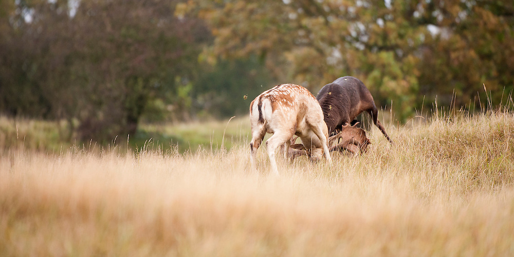 Fallow deer males (Dama dama) fighting during the rut in the Amsterdamse waterleidingduinen, The Netherlands. October 2012.