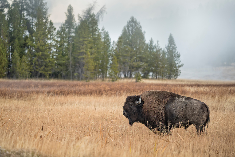 Bison at Upper Geyser Basin in Old Faithful, Yellowstone National Park, Wyoming.