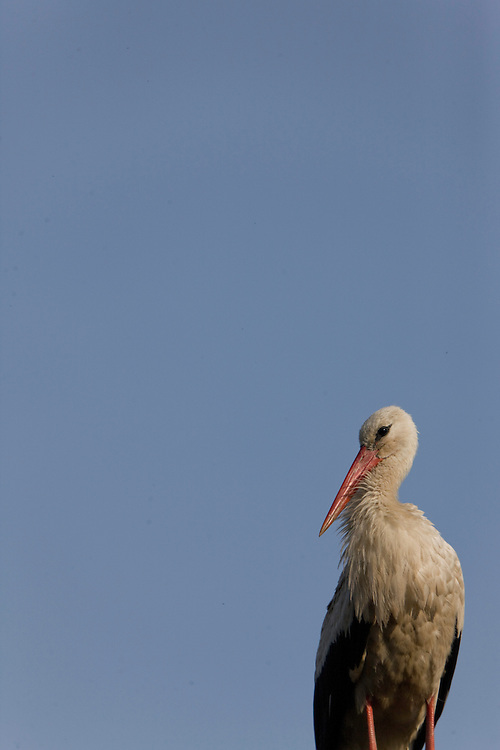 White stork (Ciconia ciconia) resting on roof. Čigoč village: recognized as the first founded European Stork Site by the E.U.; one of the European Stork Villages European network. Lonjsko Polje Nature Park. Ramsar Site. Sisack-Moslavina county. Slavonia region. Posavina area. June 2009. Croatia.<br /> Elio della Ferrera / Wild Wonders of Europe