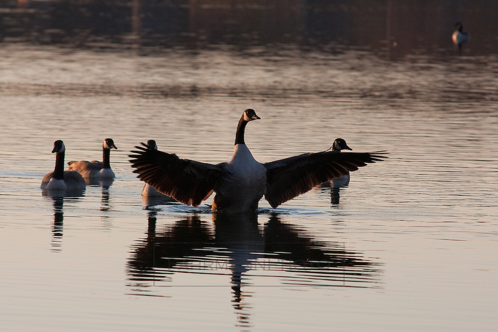 A Canadian Goose flaps its wings in its stop over at Lake Nokomis to rest before continuing its journey south for the winter months