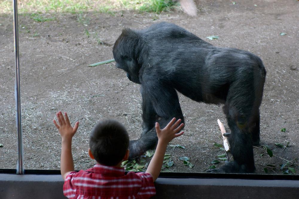 Gorilla (Gorilla Gorilla), San Diego Zoo, San Diego, California, United States of America