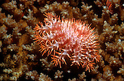 UNDERWATER MARINE LIFE WEST PACIFIC, generic crown of thorns sea star Acanthaster planci