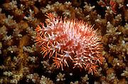 UNDERWATER MARINE LIFE WEST PACIFIC, generic crown of thorns sea star Acanthaster planci