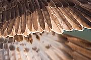 Osprey (Pandion haliaetus) wing detail, Cairngorms National Park, Scotland.