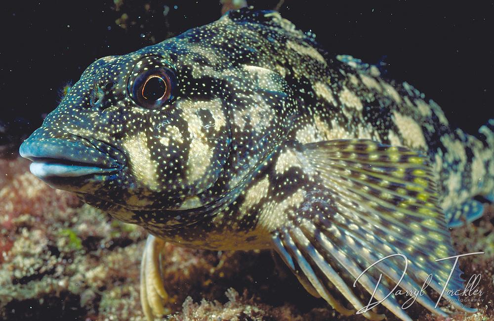 Hiwihiwi (Kelpfish): Chironemus marmoratus, Goat island Bay marine reserve. New Zealand