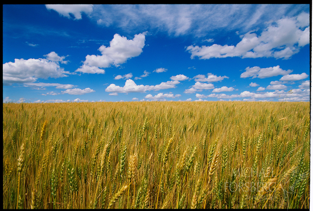 Wheat field ready for harvest under clouds and blue sky.