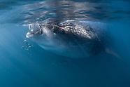 Whale shark (Rhincodon typus) - Yucatan - Mexico