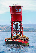 Brown Seals on a buoy off the Coast of Dana Point California