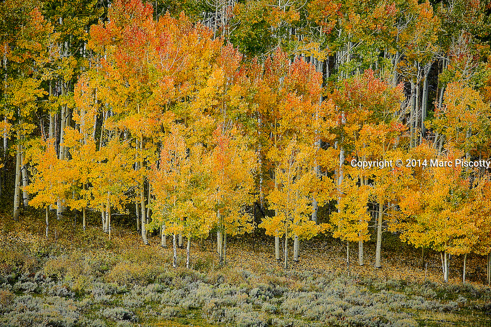 SHOT 10/2/14 8:41:26 AM - A stand of aspen trees changing colors along the Dallas Divide near Ridgway, Co. Aspens are trees of the willow family and comprise a section of the poplar genus, Populus sect. Populus. The Quaking Aspen of North America is known for its leaves turning spectacular tints of red and yellow in the autumn of the year (and usually in the early autumn at the altitudes where it lives). This causes forests of aspen trees to be noted tourist attractions for viewing them in the fall. These aspens are found as far south as the San Bernardino Mountains of Southern California, though they are most famous for growing in Colorado. Autumn leaf color is a phenomenon that affects the normally green leaves of many deciduous trees and shrubs by which they take on, during a few weeks in the autumn months, one or many colors that range from red to yellow. The phenomenon is commonly called fall colors and autumn colors, while the expression fall foliage usually connotes the viewing of a tree or forest whose leaves have undergone the change. In some areas in the United States &quot;leaf peeping&quot; tourism between the beginning of color changes and the onset of leaf fall, or scheduled in hope of coinciding with that period, is a major contribution to economic activity.<br /> (Photo by Marc Piscotty / &copy; 2014)