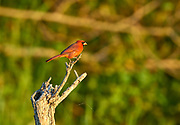 Northern Cardinal Cardinalis cardinali Arthur R Marshall National Wildlife Reserve Loxahatchee Florida USA