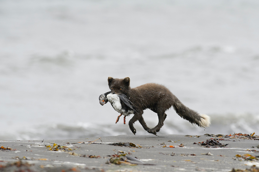 Young adult male Arctic fox (Alopex lagopus) carrying dead puffin scavenged from the beach. Hornvik, Hornstrandir, Westfjords, Iceland. July 2015.