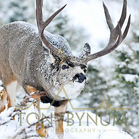 mule deer buck in snow rutting