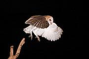 Barn Owl (Tyto alba) Israel, Summer July 2009