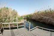 Reeds bloom in a desert oasis in Jordan