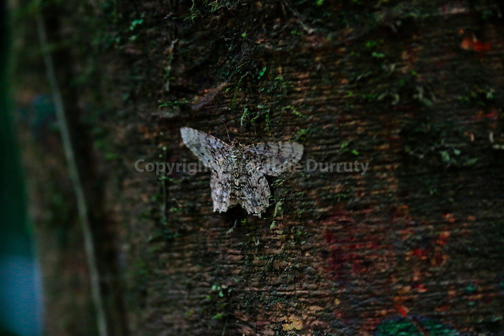 night butterfly, Corcovado National park, Costa Rica // papillon de nuit, Parc national Corcovado, Costa Rica