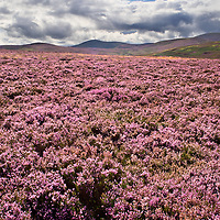 View over Heather Moorland to The Cheviot near Wooler Northumberland National Park England