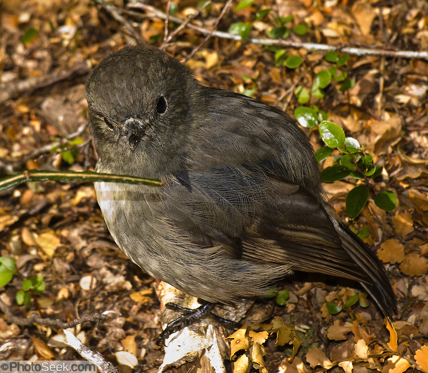 The New Zealand Robin (or Toutouwai, Petroica australis) is a protected species found only in New Zealand. Routeburn Track, Mount Aspiring National Park, South Island, New Zealand. In 1990, UNESCO honored Te Wahipounamu - South West New Zealand as a World Heritage Area.