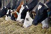 Nederland, Ooijpolder, 24-2-2017Koeien, melkkoeien in een stal van een boer die zijn bedrijf wil beeindigen dmv de regeling die de overheid heeft aangeboden.Foto: Flip Franssen