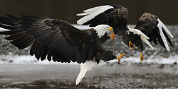A bald eagle (Haliaeetus leucocephalus) attacks another bald eagle with white wing tips and white talons as they fly above the Chilkat River in the Alaska Chilkat Bald Eagle Preserve near Haines, Alaska. The white wing tips and talons are caused by a leucistic condition -- a condition of reduced pigmentation resulting in white patches. These patches of white can occur while the rest of the animal is colored normal. Unlike albinism, the eye color is normal. During late fall, bald eagles congregate along the Chilkat River to feed on salmon. This gathering of bald eagles in the Alaska Chilkat Bald Eagle Preserve is believed to be one of the largest gatherings of bald eagles in the world.