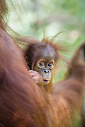 Sumatran Orangutan<br /> Pongo abelii<br /> 9 month old baby<br /> North Sumatra, Indonesia<br /> *Critically Endangered