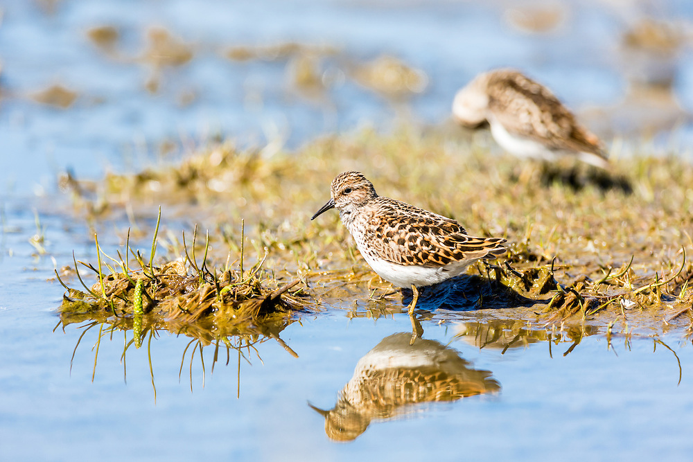 Least Sandpipers (Calidris minutilla) foraging on the tidal flats of Hartney Bay near Cordova in Southcentral Alaska  to refuel on the long spring migration to the arctic. Afternoon.