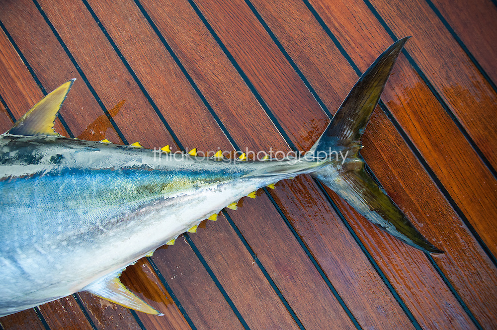 Close up detail of yellow fin tuna fish on a teak yacht deck, Sea of Cortez, Mexico