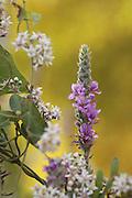 Purple loosestrife (Lythrum salicaria) photographed in Israel in June