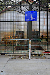 ROMANIA ONESTI 26OCT12 - Siberian Tigers  in captivity at the Onesti zoo.  ..The zoo has been shut down due to non-adherence with EU regulations on the welfare of animals.......jre/Photo by Jiri Rezac / WSPA......© Jiri Rezac 2012
