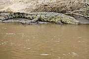 Nile Crocodile, Crocodylus niloticus, in Mara River, Kenya.