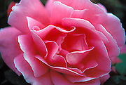 Large Pink Rose, Beautiful