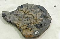 Fóssil de Encrinaster pontes, Aspidosoma (Ofiuróide), Formação Ponta Grossa, Devoniano, Ponta Grossa - PR. Museu Geológico Valdemar Lefèvre, São Paulo - SP, 07/2014.
