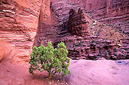 Juniper and sandstone at Fisher Towers. BLM land near Moab, Utah.
