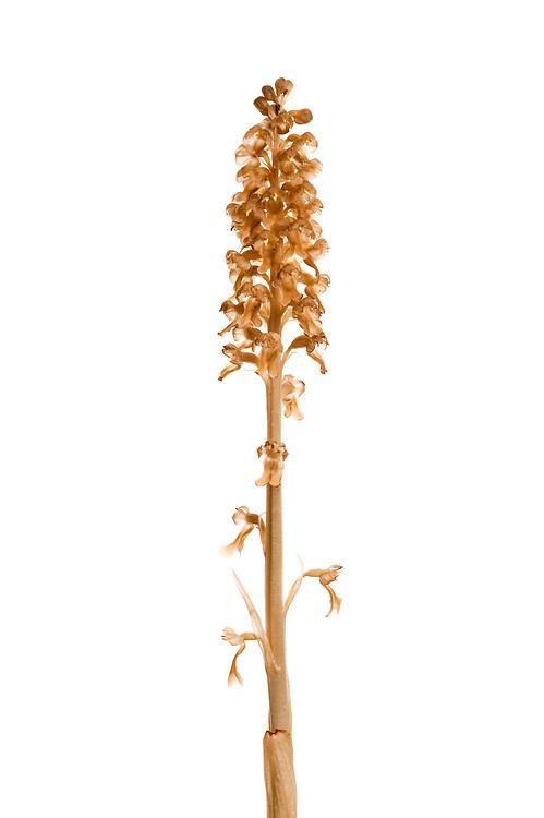 Birdsnest orchid, Neottia nidus-avis, Queyras, France, Europe