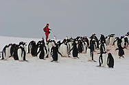 Model Released photo of a tourist with a camera at a Gentoo Penguin ( Pygoscelis papua )  rookery.