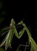 Sexual Cannibalism! Female Paying mantis Devours her partner<br /> <br /> imagine every time you made love to your partner you were dicing with imminent death. It might make<br /> you wary of having sex ever again (if you survived, that is!) yet male praying mantises can never be sure they will survive the sex act owing to their partners<br /> natural predatory instinct. Sexual cannibalism is a natural phenomenon whereby one organism (generally the female) eats the other (typically the Male) before, during or right after sex.<br /> this amazing sequence of photographers shows a female praying mantis eating her lover <br /> <br /> Photo shows: Dismounting is possibly the most dangerous stage of the sex act for the male mantis as it is at this point that he is most likely to get his head bitten off<br /> <br /> ©Oliver Koemmerling/Exclusivepix Media