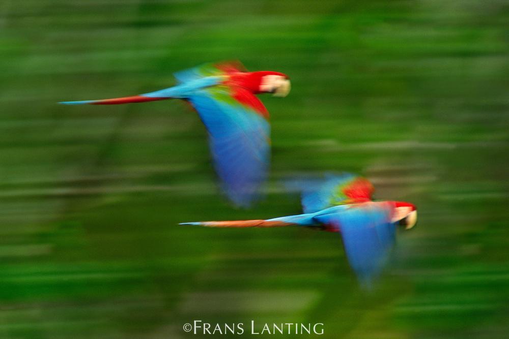 Red-and-green macaw juveniles in flight, Ara chloroptera, Tambopata National Reserve, Peru